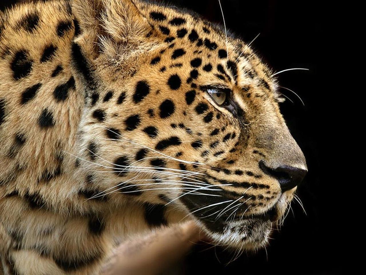 豹 豹子 壁纸 动物 桌面 1280_960