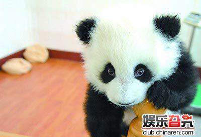 超可爱★熊猫居然落出了貌似明星般的表情
